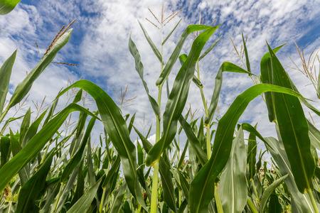 maturation: Upwards view of a maize field during summer season before maturation Stock Photo
