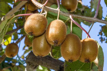 kiwi fruta: Grupo de los kiwis maduros en una rama