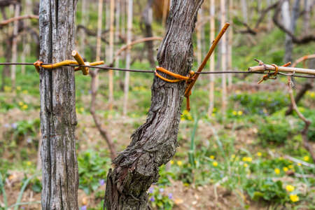 sallow: Close-up shot of a binding of a grapevine in a vineyard
