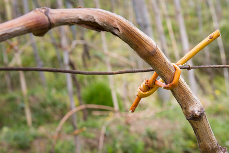 sallow: Close-up shot of a binding of a grapevine branch in a vineyard Stock Photo