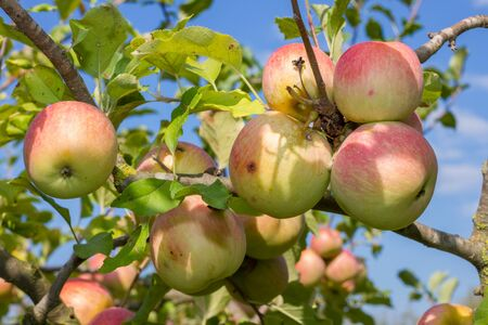 ripe: Natural and genuine red-green apples on a branch tree