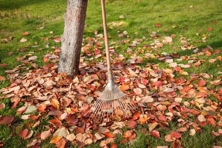 leaned: Leaf rake in a garden leaned against a tree and a stack of leaves