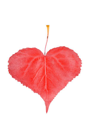 fall leaf: Heart-shaped red leaf isolated on white background Stock Photo