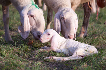 defenceless: mother ship taking care of a newborn little lamb