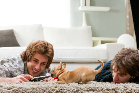 tugging: Two young men lying on a thick rug on the floor playing with a pet chihuahua engaging in a tug of war with the dog and a short piece of rope Stock Photo