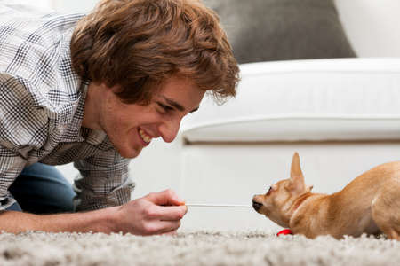 tugging: Adorable little brown chihuahua having a tug of war with a handsome smiling young man crouching on a rug pulling on the end of a cord