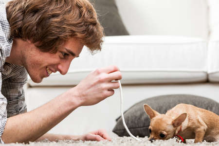 crouches: Young man playing with a small chihuahua dog offering it a length of rope as he crouches down on the carpet with it, close up profile view Stock Photo