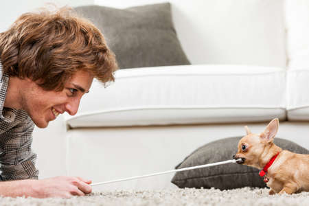 tugging: Cute little chihuahua testing its strength having a tug of war with a smiling young man tugging on the end of a rope