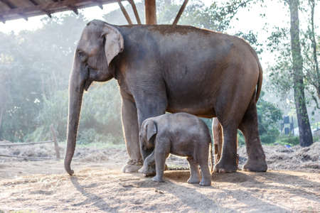 Baby elephant guarded by its mother at the Chitwan National Park, Nepal Stock Photo