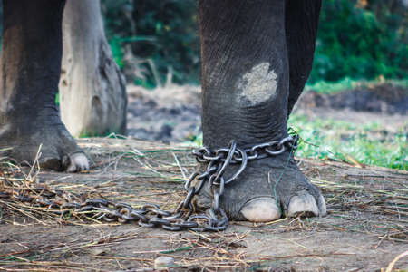Chained elephant foot at the Elephant farm at the Chitwan National Park, Nepal Stock Photo