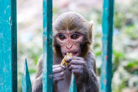 Macacus monkey living in the Swayambu Nath Temple, Kathmandu, Nepal Stock Photo
