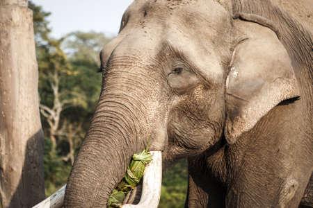 Elephant at the Elephant farm at the Chitwan National Park, Nepal