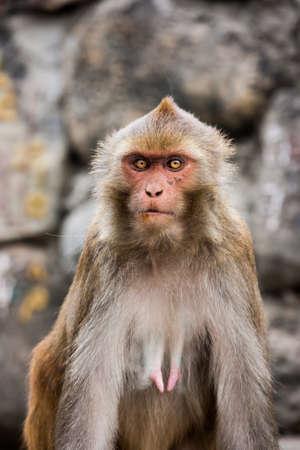 pezones: Macacus monkey living in the Swayambu Nath Temple, Kathmandu, Nepal Foto de archivo