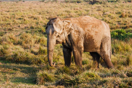 Elephant at the elephant farm, Chitwan National Park, Nepal