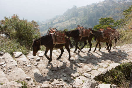 Mules transporting food to the lodges on the Annapurna Base Camp Trek, Nepal