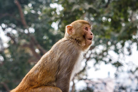 Macacus monkey living in the Swayambu Nath Temple, Kathmandu, Nepal Stock Photo