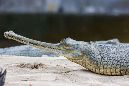 Gharial crocodile with narrow snout at the Chitwan National Park, Nepal Reklamní fotografie
