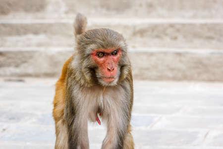 pezones: Macaco que vive en el templo de Swayambu Nath, Katmandú, Nepal Foto de archivo