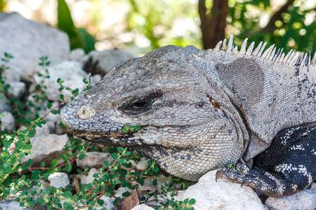 Closeup of an iguana at the Tulum archaeological site, Quintana Roo, Mexico.