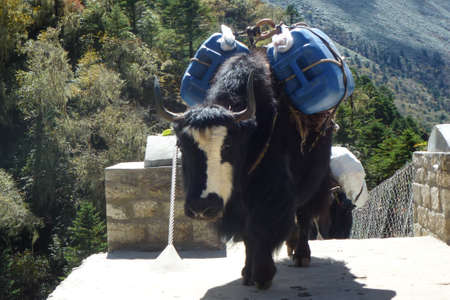 Group of yaks over a suspension bridge in Tengboche, Everest Base Camp trek, Nepal