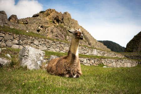 Llama portrait in Machu Picchu, Cuzco, Peru