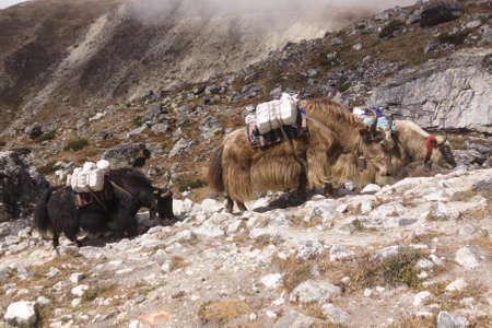 Picture of two yaks climbing a hill, Everest Base Camp trek, Nepal