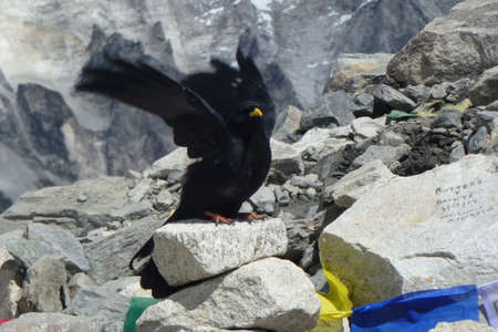 Black crow spreading wings with prayer flags at the EBC, Everest Base Camp trek, Nepal