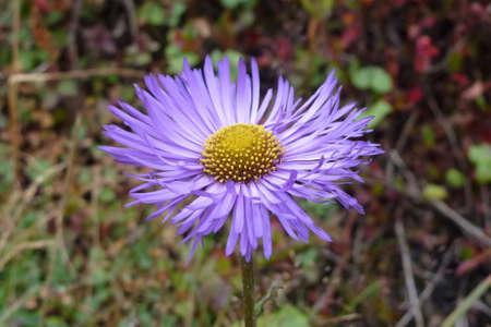 Closeup of a purple aster flower in Namche Bazaar, Everest Base Camp trek, Nepal
