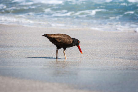 Black oystercatcher (Haematopus ater) walking on the sand in Paracas, Peru