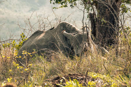 Picture of a rhino resting during a safari in the Hluhluwe - imfolozi National Park in South africa 版權商用圖片