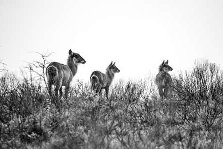 Picture of a group of waterbucks in the grass in the Isimangaliso National Park in Southafrica