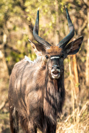 Picture of a male Kyala seen during a safari in the Hluhluwe - imfolozi National Park in South africa 版權商用圖片 - 140260780