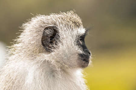 Picture of a Vervet monkey (chlorocebus pygerythrus) in the Isimangaliso National Park in Southafrica 版權商用圖片 - 140260784