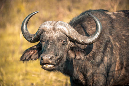 Picture of a buffalo at sunrise during a safari in the Hluhluwe - imfolozi National Park in South africa