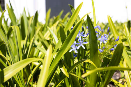 Detail of a plant of Scilla verna (shirley) flowers in Stellenbosch, the vineyards and wine region near Cape Town, Southafrica