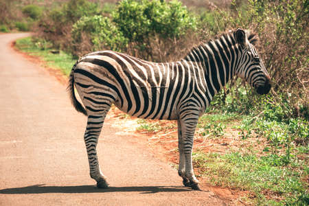 Picture of a zebra in the Hluhluwe - imfolozi National Park in South africa 版權商用圖片