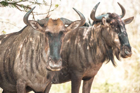 Picture of a gnu (wildebeest) during a safari in the Hluhluwe - imfolozi National Park in South africa 版權商用圖片 - 140261177