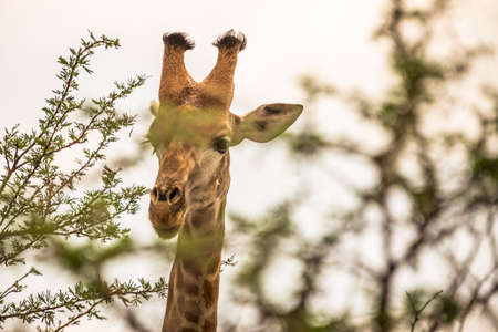 Picture of a giraffe during a safari in the Hluhluwe - imfolozi National Park in South africa 版權商用圖片