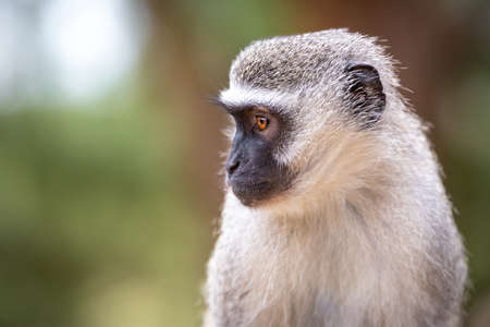 Picture of a Vervet monkey (chlorocebus pygerythrus) with big eyes in the Isimangaliso National Park in Southafrica 版權商用圖片 - 141152423