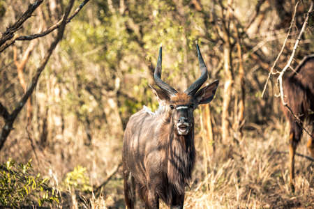 Picture of a male Kyala seen during a safari in the Hluhluwe - imfolozi National Park in South africa