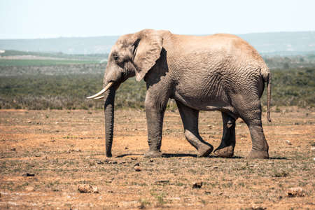 Picture of the Elephant in the Addo Elephant National Park, near Port Elizabeth, South africa
