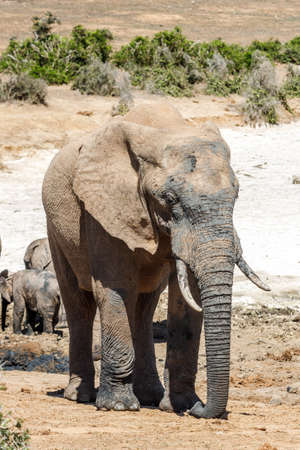 Picture of the african elephants in the Addo Elephant National Park, near Port Elizabeth, South africa 免版税图像