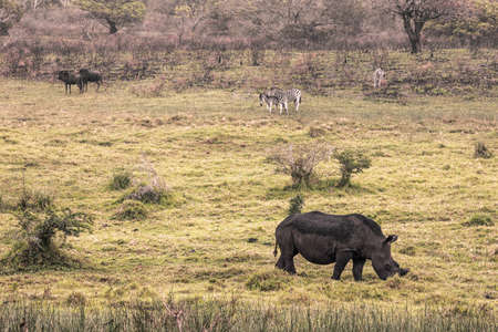 picture of a black rhino and zebras eating grass in the Isimangaliso National Park in Southafrica Stock Photo