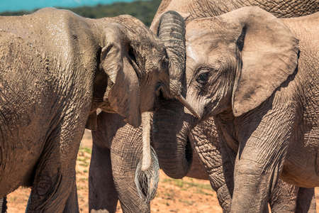 Picture of the Elephants in the Addo Elephant National Park, near Port Elizabeth, South africa