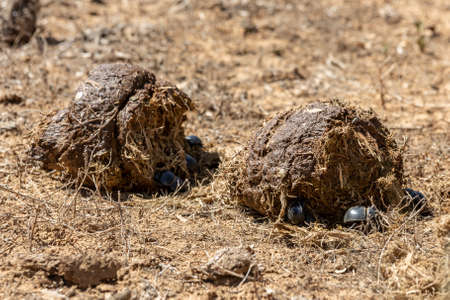 PIcture of some dung beetles in the Addo Elephant National Park, near Port Elizabeth, South africa 版權商用圖片