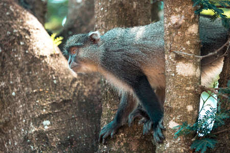 Picture of a Samango monkey portrayed during a safari in the Hluhluwe - imfolozi National Park in South africa 版權商用圖片 - 140265637