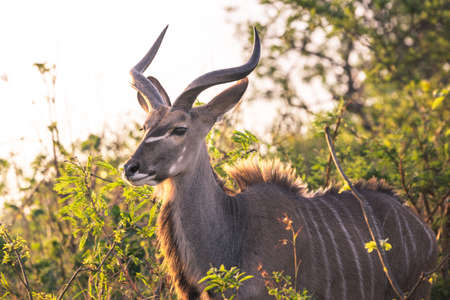 Picture of a male Kudu at sunset portrayed during a safari in the Hluhluwe - Imfolozi National Park, South africa 版權商用圖片 - 139836232