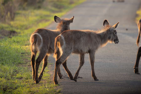 Picture of a group of waterbucks crossing a road during a safari in the Hluhluwe - imfolozi National Park in South africa 版權商用圖片