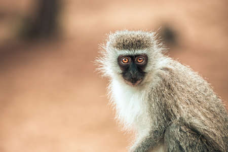 Picture of a Vervet monkey (chlorocebus pygerythrus) with big orange eyes in the Isimangaliso National Park in Southafrica