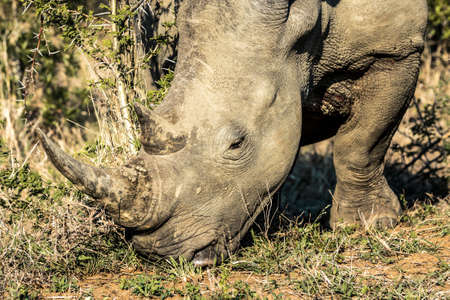 Picture of a rhino eating grass in the Hluhluwe - Imfolozi National Park, South africa